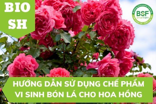 Hướng Dẫn Sử Dụng chế phẩm vi sinh bón lá cho hoa hồng và cây cảnh BIO SH