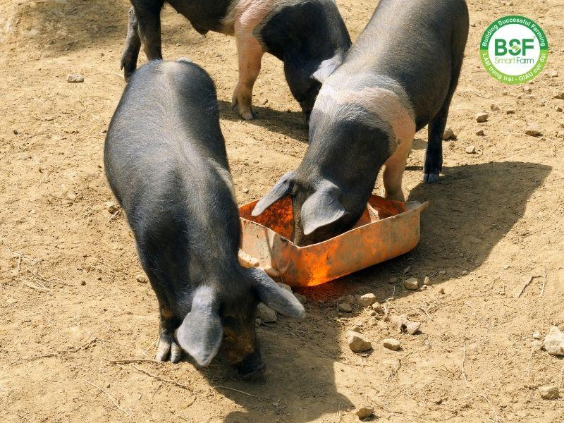 Mô Hình nuôi lợn rừng kết hợp ruồi lính đen