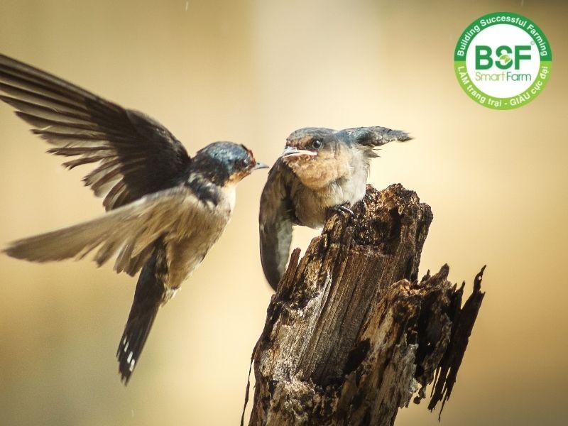 Làm thức ăn cho chim yến
